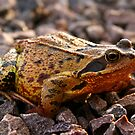 Toad on the Rocks by Geoff Carpenter
