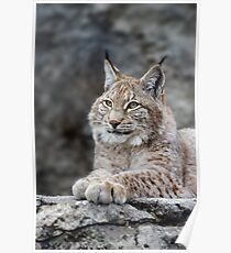 Young lynx portrait Poster
