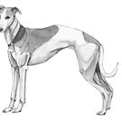 Whippet hound by doggyshop
