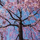 Sakura in Pink and Blue - Japanese Cherry Blossoms by TokyoLens