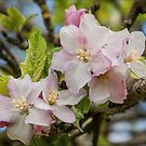 Apple tree flowers by 29Breizh33