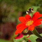 Bumblebee, Jardin des Plantes by Laura Cronin