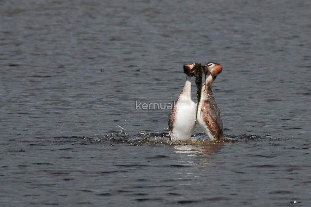 Dance of the Grebes by kernuak