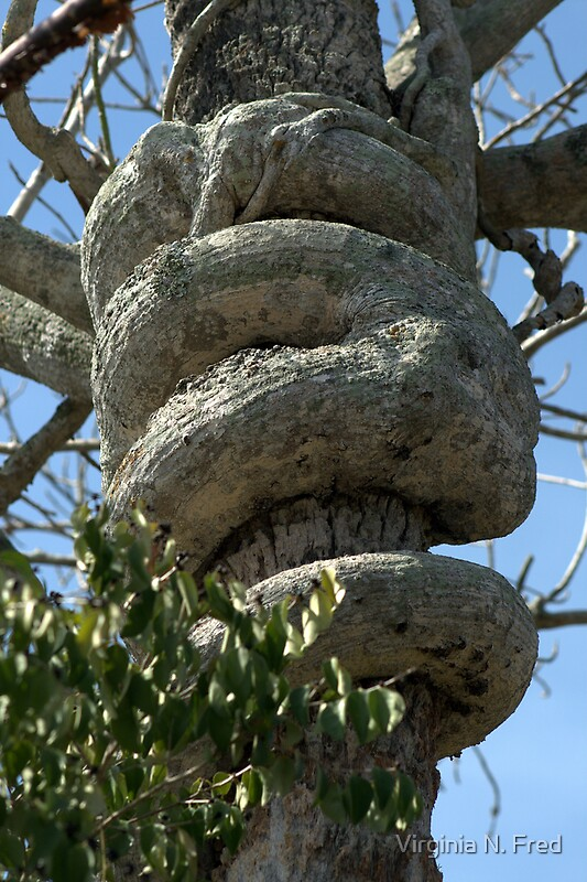 Quot Strangler Fig Tree Natural Art Quot By Virginia N Fred