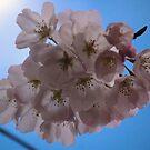 in bloom by dbcarolinagirl