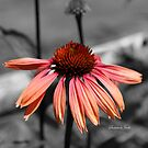 Perennial Harmony Sunset Echinacea by SummerJade
