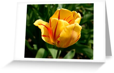 """A """"Flaming"""" Tulip Welcoming Spring! by Gene Walls"""