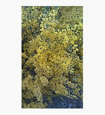 Acacia Photographic Print