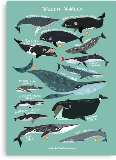 baleen whales canvas prints by rohanchak redbubble