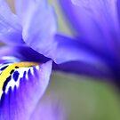 Iris Reticulata by Christa Binder