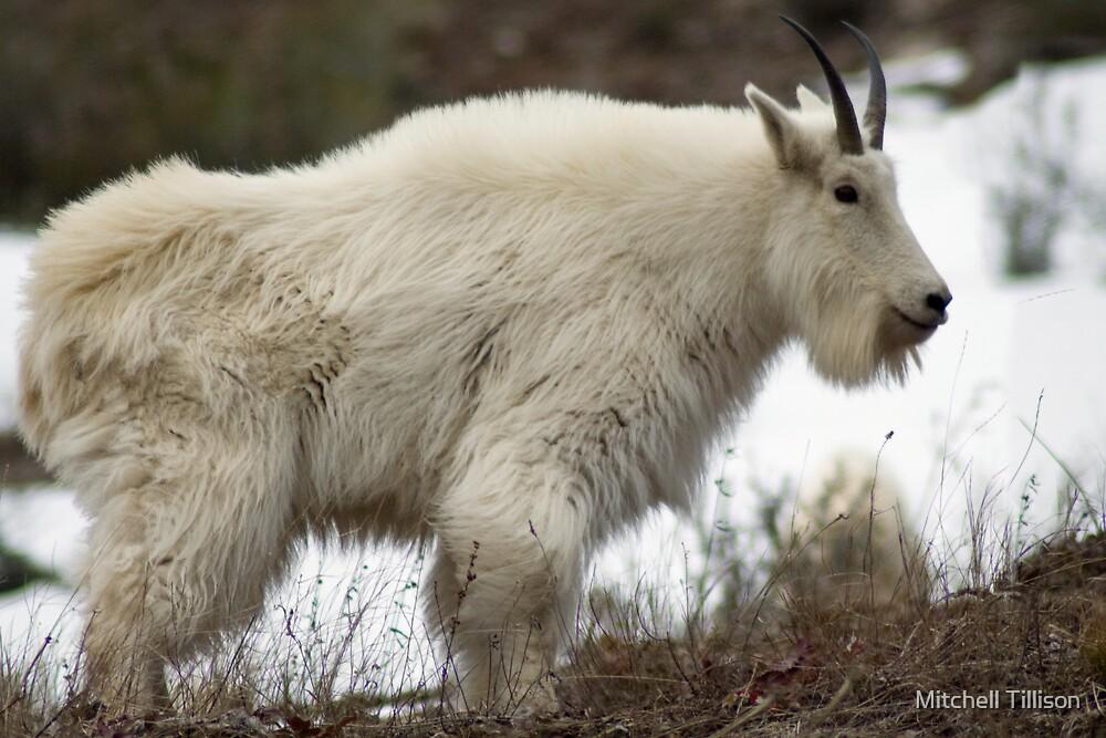 """Mountain Goat - Alpine, Wyoming"" by Mitchell Tillison"