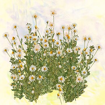 Daisy fever by anni103