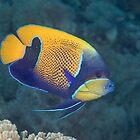 Blue-girdled Angelfish by Mark Rosenstein
