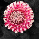 Pink and white dahlia designs by Sarah Curtiss