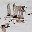 Grey plovers by David Clarke
