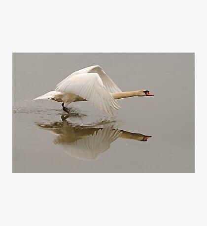 Swan Taking Flight Photographic Print