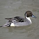 Pintail (pattern) by Yampimon