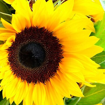 Sunflower Design by 50Pxels