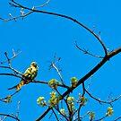 Belgian Parrot (Monk Parakeet) by Alison Cornford-Matheson