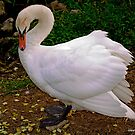 Swan by dominikanac