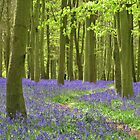 Woodland Path Through The Bluebells by lezvee