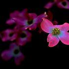 Pink Dogwood Blossoms  by crimsontideguy