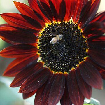 Wine Red Sunflower by BettyMackey