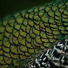 Closeup of Peacock Colors by katevernaphoto