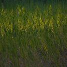 Green Grass at Sunset  by katevernaphoto
