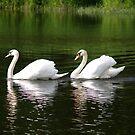 The Royal Swans of Ottawa by DigitallyStill