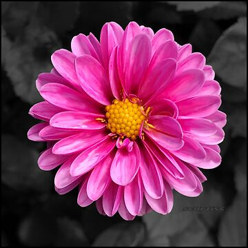 Bright pink flower with black background by GraceArt