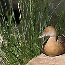 Plumed Whistling-duck by SusanAdey