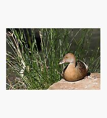 Plumed Whistling-duck Photographic Print