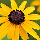 Brown Eyed Susan, Original Photograph by Danielle Scott