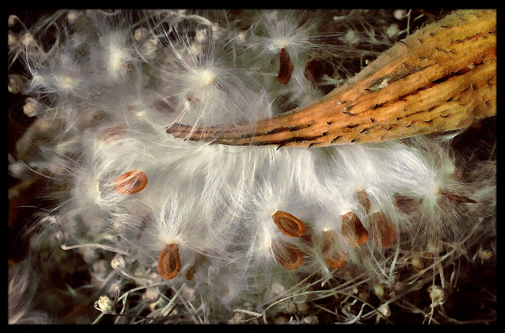 Milkweed by Dave  Higgins