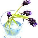 Viola (grape hyacinth) by jerry  alcantara
