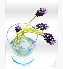 Viola (grape hyacinth) Poster
