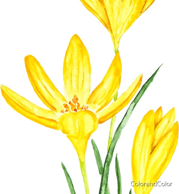 Yellow botanical crocus flowers watercolor  by ColorandColor