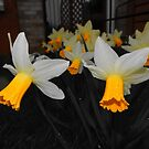 Narcissus  by Nik Watt