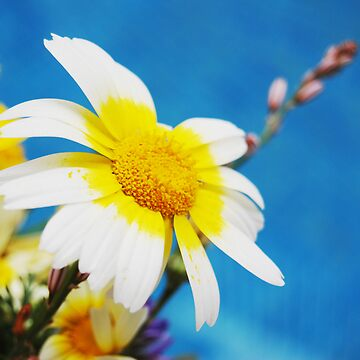 Two Tone Daisy by PinkCloud