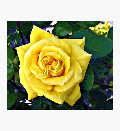 Golden Double Hearted Rose Photographic Print