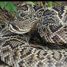Eastern Diamond Back Rattlesnake by glink