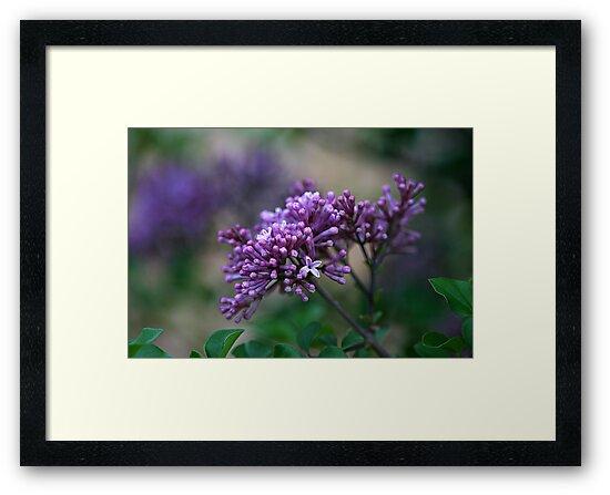 Dwarf Korean Lilac by Kelly Cavanaugh