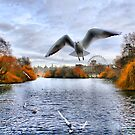 Seagull in Saint James Park by Philip James Filia