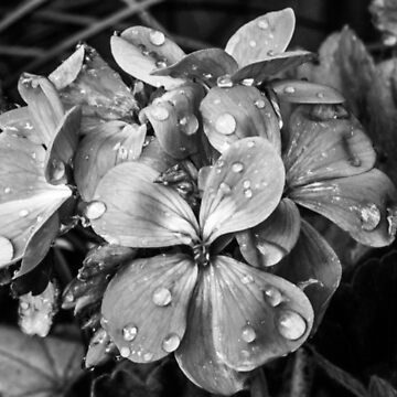 Balck and White Geraniums With Raindrops by shane22