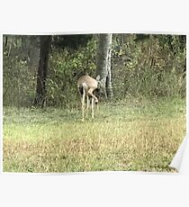 Texas deer with attitude Poster