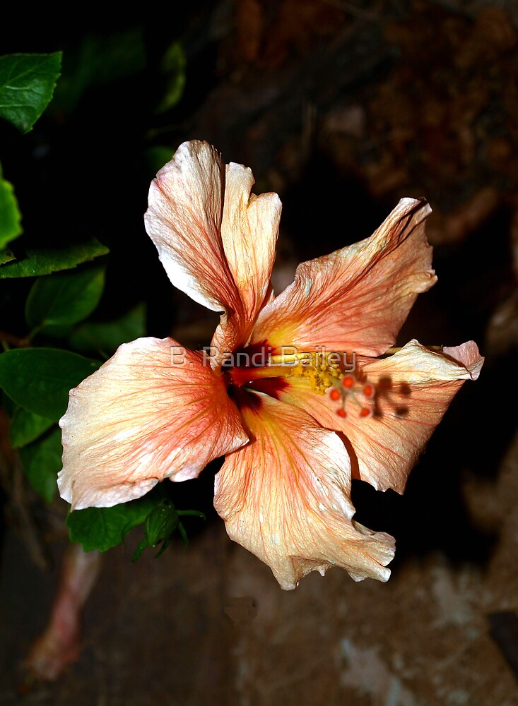 Peach hibiscus in the wind by ♥⊱ B. Randi Bailey