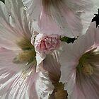 White Pink Hollyhock Flower CU Leith Park Victoria 20171206 1855  by Fred Mitchell