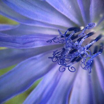 Chicory Spirals by jackbattle6