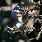 Beautiful Butterfly Dead Fern by annofsilhouette